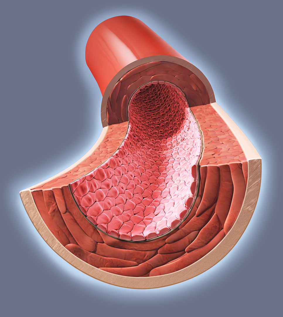 artery cross section