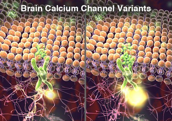 Brain Calcium
